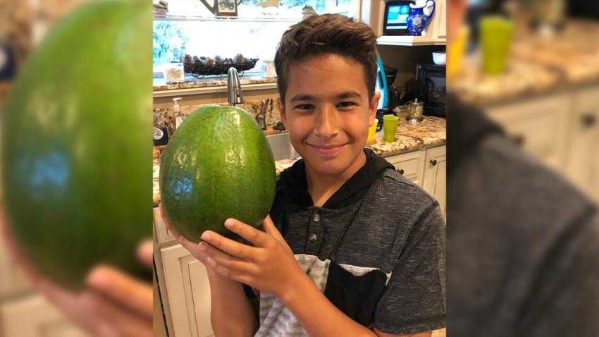 2136984_Heaviest-avocadoa