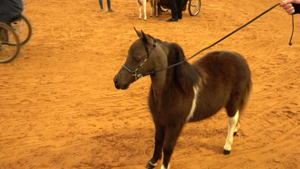 Big Prizes for Small, But Mighty, Competitors in Miniature Horse Show