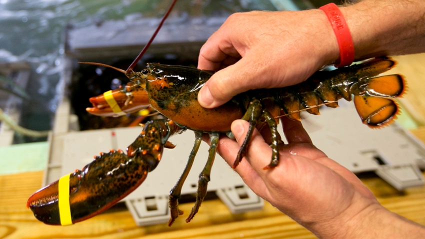 Lobster Prices