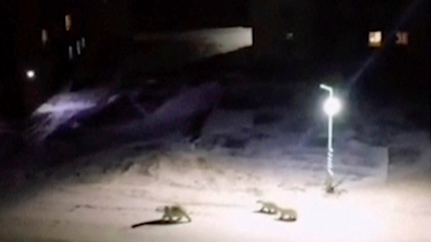 Russia Polar Bear Invasion
