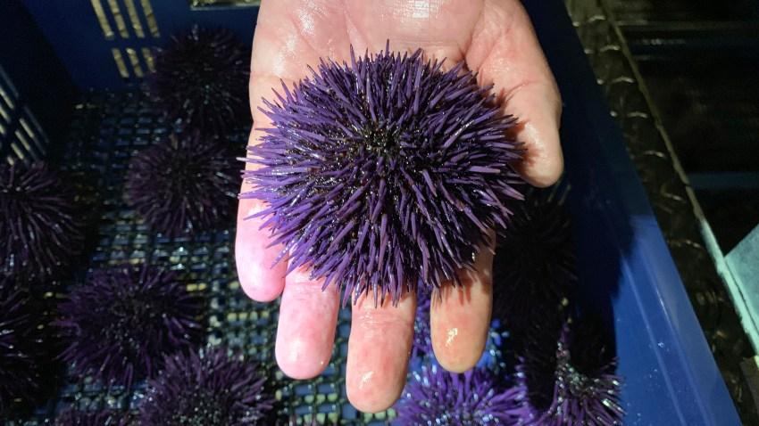 Sea Urchin Explosion