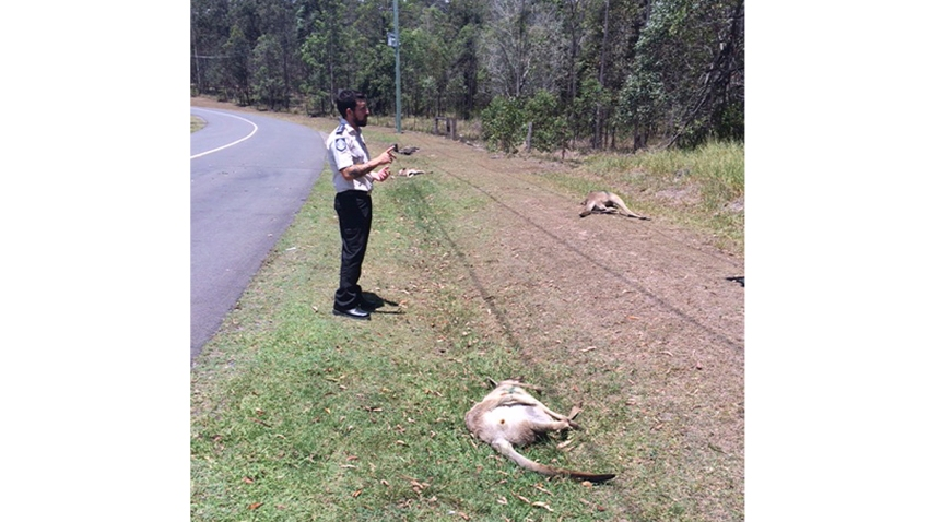 Australia Kangaroos Killed