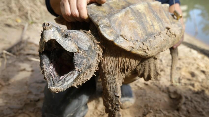 Bayou Turtles