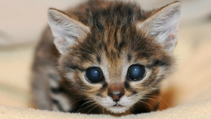 Brookfield Zoo's new Black-Footed Cat