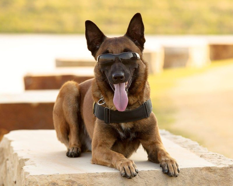 Grand Prairie K9 Officer Bullet