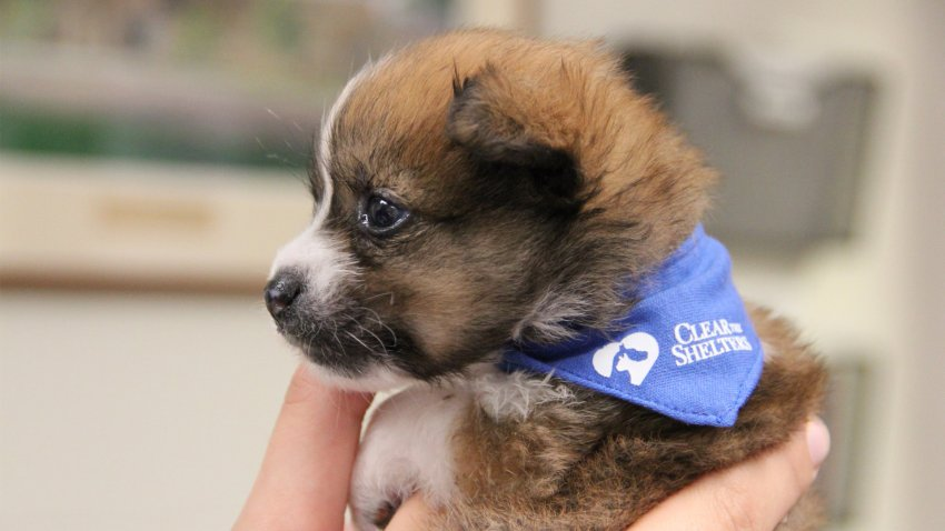puppy in a clear the shelters bandana