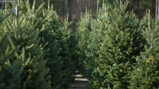 Christmas_Tree_Shortage_Leading_to_Higher_Prices.jpg