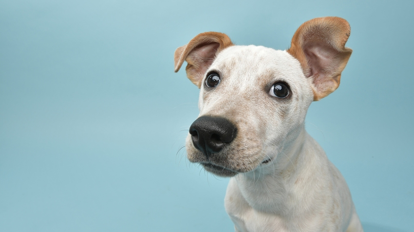 """Portrait of """"Leo,"""" a 5 month old, male, gray and white Cattle Dog mix puppy. By using this photo, you are supporting the Amanda Foundation, a nonprofit organization that is dedicated to helping homeless animals find permanent loving homes."""