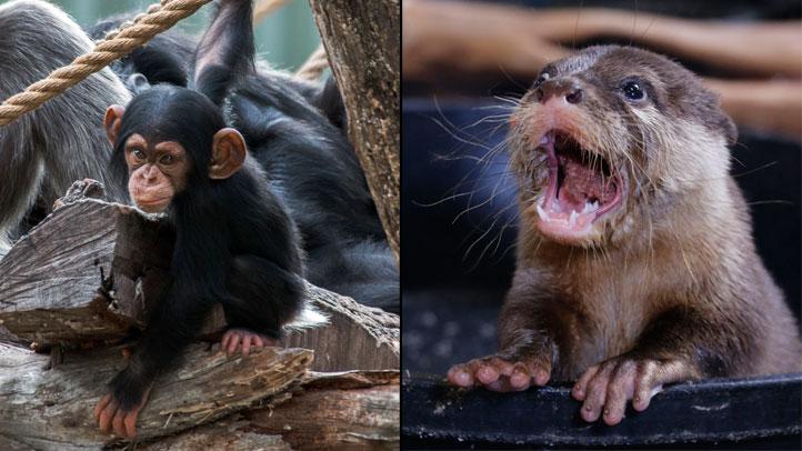 Dallas-Zoo-Chimp-Otter