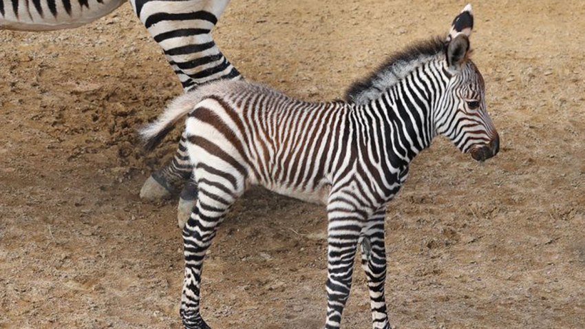 Baby Zebra Is 1st of Its Species Born at Dallas Zoo
