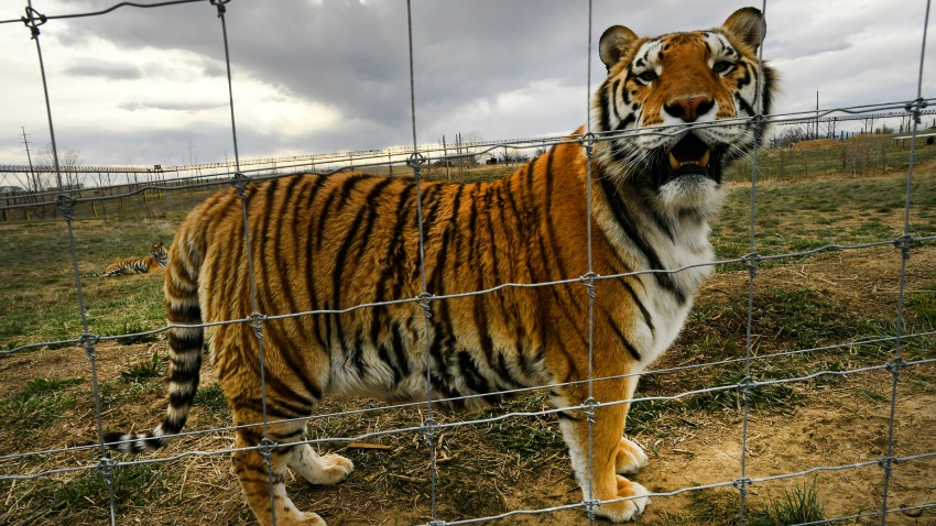 A young tiger relaxes in his open enclosures enjoying a once unimagined life of freedom at the Wild Animal Sanctuary