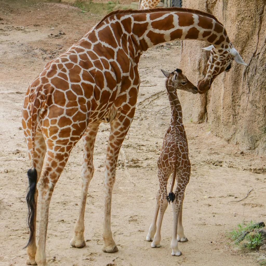 The Dallas Zoo's newborn giraffe, Kendi, with his mom, Katie.