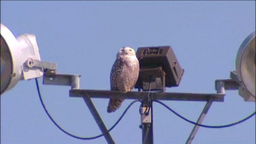 Rowlett Snowy Owl