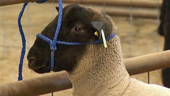 Stock-Show-Sheep