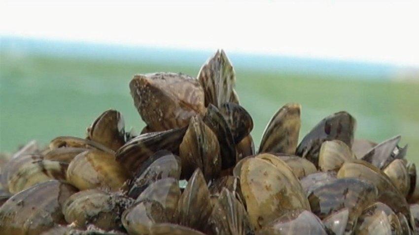 Zebra-Mussels-091713