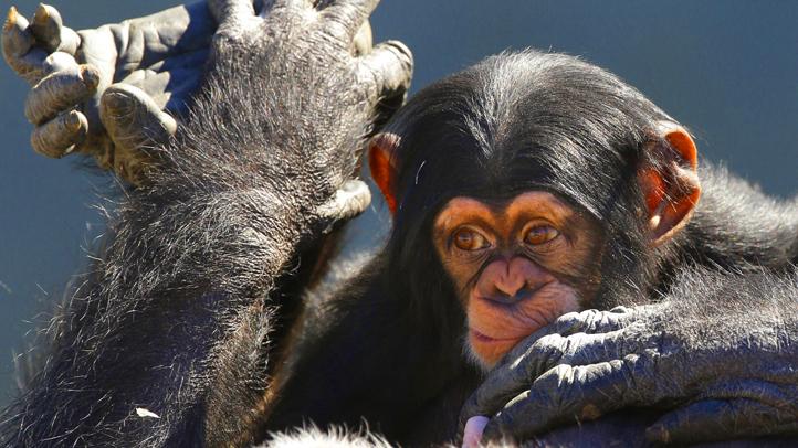 APTOPIX Chimp Rehab