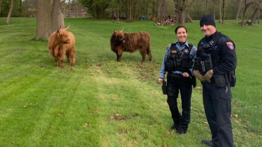 cows lake county