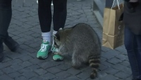 'Drunk' Raccoon Stumbles Through Christmas Market in Germany