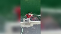Canadian Fishermen Catch Octopus and Bald Eagle Fighting on Camera