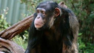 George the chimpanzee