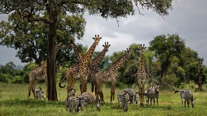 Trump Giraffes Endangered