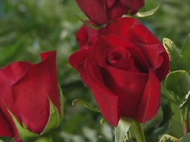 roses-021011