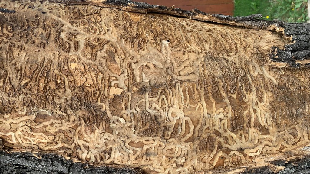 Damage done to an ash tree by the emerald ash borer beetle.