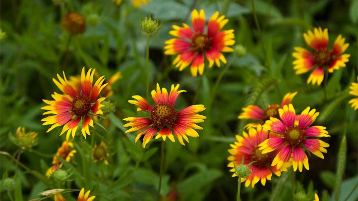 wildflower-texas