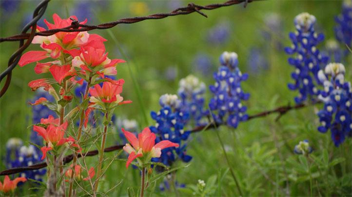 wildflowers-Robert-Hughes