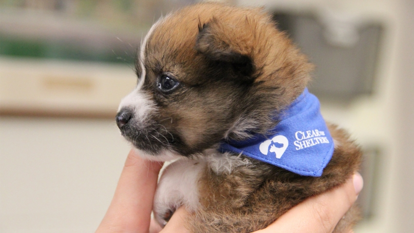 clear the shelters puppy bandana