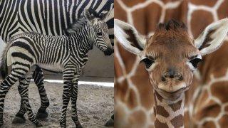 Baby Zebra and Giraffe born