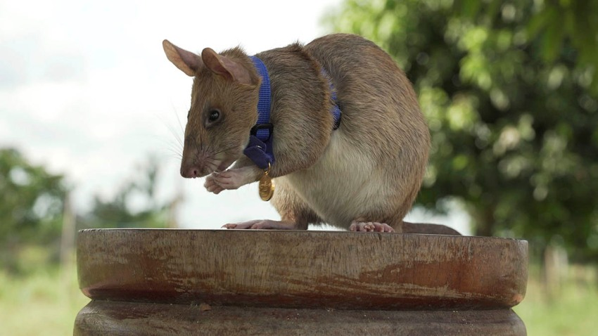 """In this undated photo issued by the PDSA, People's Dispensary for Sick Animals, Cambodian landmine detection rat Magawa is photographed wearing his PDSA Gold Medal, the animal equivalent of the George Cross, in Siem, Cambodia. On Sept. 25, 2020, a British animal charity for the first time awarded its top civilian honor to a rat, recognizing the rodent for his """"lifesaving bravery and devotion"""" in searching out unexploded landmines in Cambodia."""