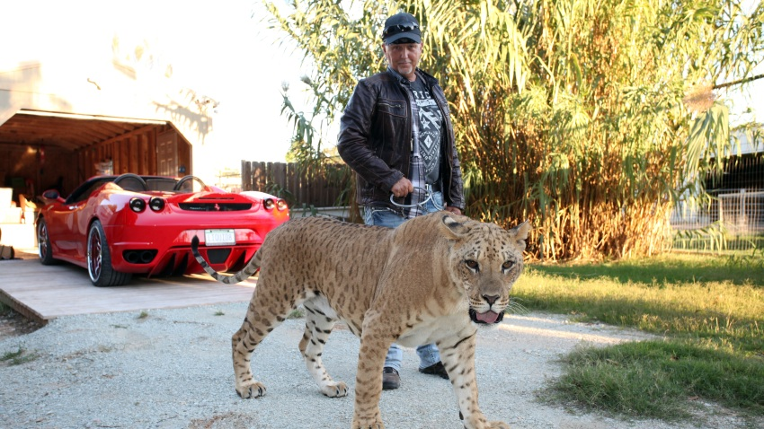 *** EXCLUSIVE - VIDEO AVAILABLE *** WYNNEWOOD, OK - SEPTEMBER 28: Jeff Lowe with Faith the liliger at his home inside the Greater Wynnewood Exotic Animal Park on September 28, 2016 in Wynnewood, Oklahoma. ANIMAL lover Jeff Lowe provides care and shelter to more than 220 big cats - and they live in his back garden. 51-year-old Jeff owns the Greater Wynnewood Exotic Animal Park in Oklahoma, one of the largest private zoos in the world that rescues and protects over 500 wild animals, from tigers and lions to bears and crocodiles. Jeff, a multimillionaire, spends his days closely interacting with the most dangerous animals, walking them on leads inside his cabin house and laying in and around their enclosures he even takes his smaller tigers to the vets in his Ferrari. Lauren Dropla, Jeffs 25-year-old fiancé, offers a helping hand with looking after their exotic pets and maintaining the park on a daily basis. PHOTOGRAPH BY Ruaridh Connellan / Barcroft Images London-T:+44 207 033 1031 E:hello@barcroftmedia.com - New York-T:+1 212 796 2458 E:hello@barcroftusa.com - New Delhi-T:+91 11 4053 2429 E:hello@barcroftindia.com www.barcroftimages.com