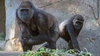 Gorilla recovering from COVID-19
