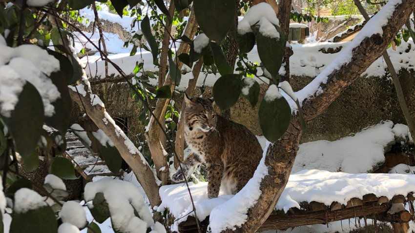 Animals at the Fort Worth Zoo explore their snowy habitats after a winter storm.