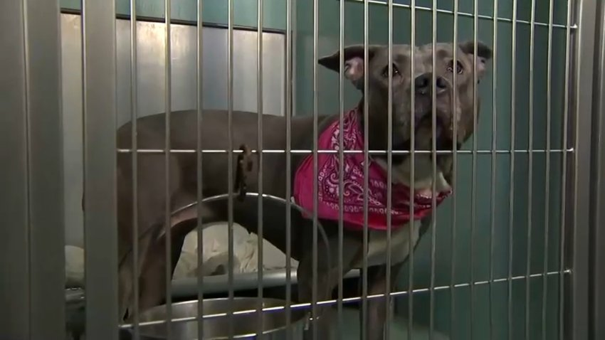Brown pitbull with a pink bandanna around his neck is behind a cage at a shelter