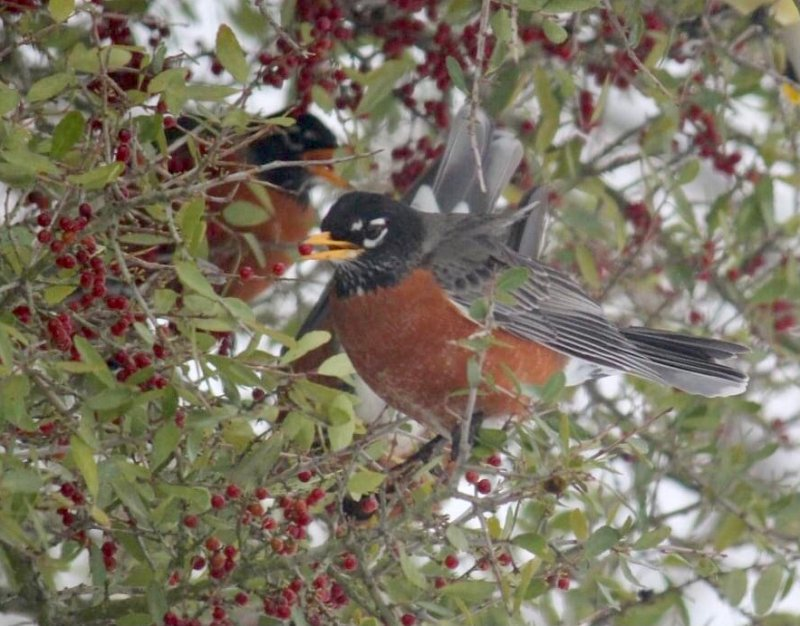 Robins Flock to North Texas and Ride Out Frozen Week With the Help of Berry Trees