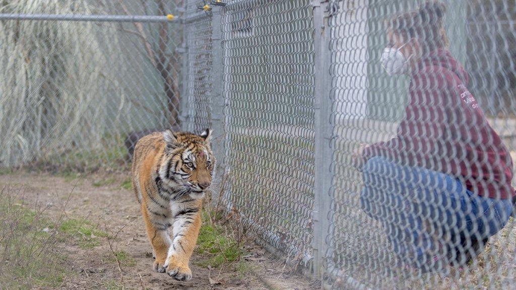 Elsa the tiger