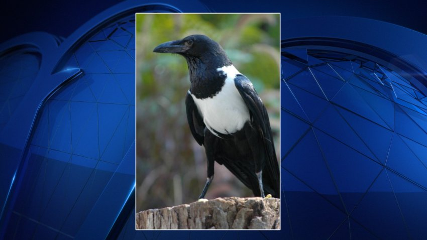 Onyx, a pied crowd, was in a training session for the zoo's free-flighted bird show when he flew off course and away from the flock.