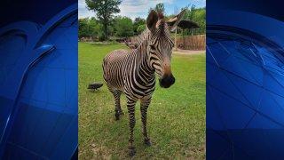 Zebra in dallas zoo exhibit with green grass