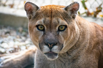 Picture of Cougar with COVID-19
