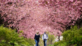 People wearing face masks as a precaution against COVID-19 walk beneath blossoming cherry trees along Columbus Boulevard in Philadelphia