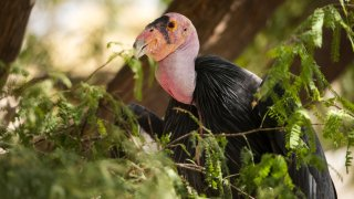 A photo of the California Condor crouched in trees