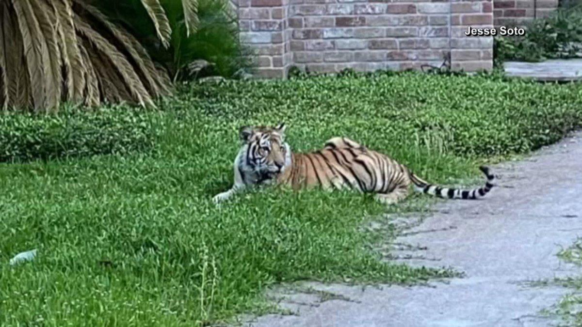 Tiger-in-Houston.jpg?quality=85&strip=al