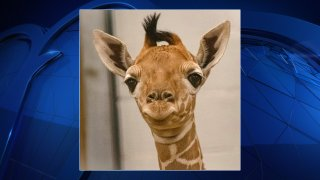 The Fort Worth Zoo welcomed a new baby giraffe just in time for Mother's Day.