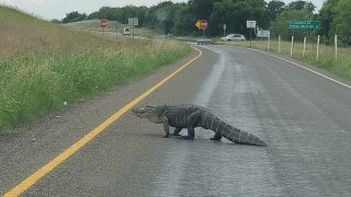 Less than a week after two large alligators were spotted in Fort Worth, an NBC 5 viewer spotted one in Denton County.