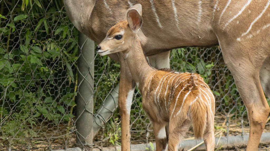 Peaches, a lesser kudu calf born at the Fort Worth Zoo in early May 2021.