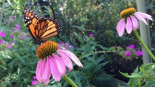 butterfly on flower at the Heard Museum in McKinney