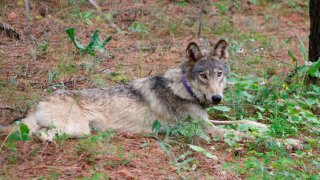 FILE - In this Feb. 2021, file photo released by California Department of Fish and Wildlife, shows a gray wolf (OR-93), seen near Yosemite, Calif., shared by the state's Department of Fish and Wildlife. A top federal wildlife official on Friday, Aug. 20, 2021, said there is growing concern over aggressive hunting rules adopted by states in the Great Lakes and northern Rocky Mountains.