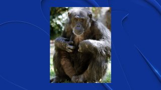 Kirk, a member of the Dallas Zoo's chimpanzee troop, died Friday of heart disease, the zoo said.